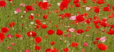 Poppy for web